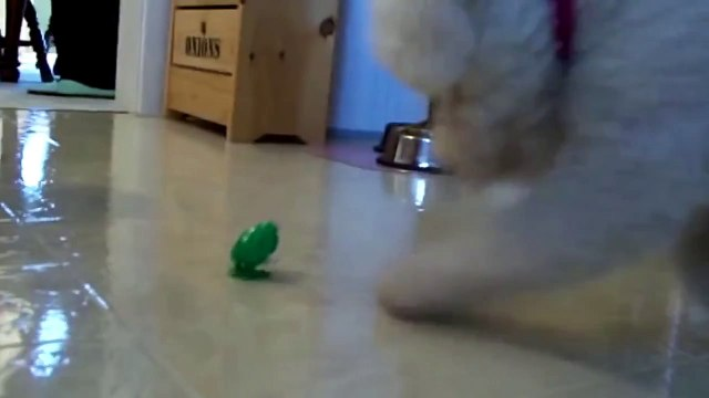 Dog plays with a toy frog, very funny and cute video