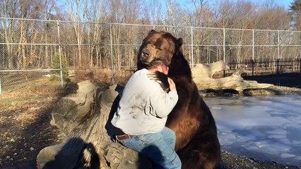 Un ours de 680kg joue avec un homme