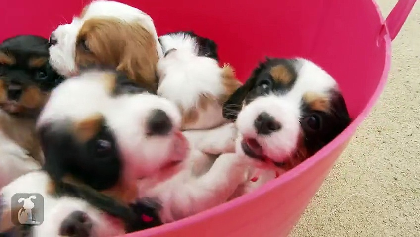 CAVALIER KING CHARLES SPANIEL (Puppy Training & Cute Videos)