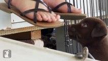 Adorable Chocolate Lab Puppies VS. Teddy Bear - Puppy Love