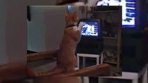 FUNNY CATS - THE STALLONE CAT - THE ROCKY CAT - SO FUNNY