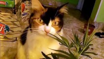 Cannabis Cat - Gatita Marihuana (Funny Cat Video!)