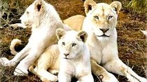 Lion Documentary National Geographic: SACRED LIONS??? WHITE LIONS [Special]