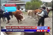 Enlace Regional Abigeos pintan a vaca para no ser identificado Chota/Cajamarca