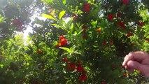 Nar Ağacı, Nar Yetiştiriciliği, Nar Bahçesi