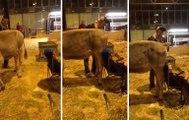 Ivre, une vache lui fait caca sur la tête