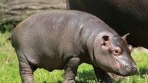 Wildlife Documentary Full Length: Hippopotamus Documentary (Animal Documentary Full Length