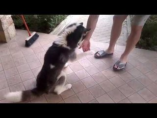 addestramento cane siberian husky fai da te