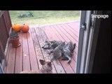 Il cagnolone deve avere mal di pancia ed il suo amico gatto lo cura così