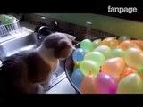 La divertente reazione dei gatti quando vedono un palloncino simile a loro