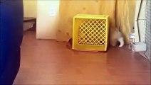 Un chien Corgi joue au chat et à la souris