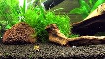 Assassin Snail Clea helena (formerly Anentome helena)