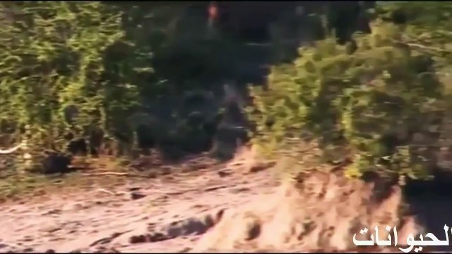 Terrible fight between predators on Earth