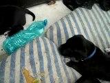 chiot dogue allemand 21_08_06