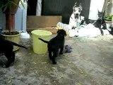 chiot dogue allemand 22_08_06