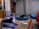 chiot dogue allemand 12_09_06