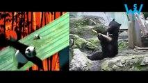 Kungfu panda vs real Kungfu bear. Very funny