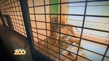 Lions, tigres et girafes pour Charlotte et Thibault - S03E38