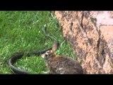 Il coniglietto è stritolato dal serpente ma  mamma coniglio guardate che fa