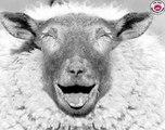Ne jamais tourner le dos à un mouton. Mdrr