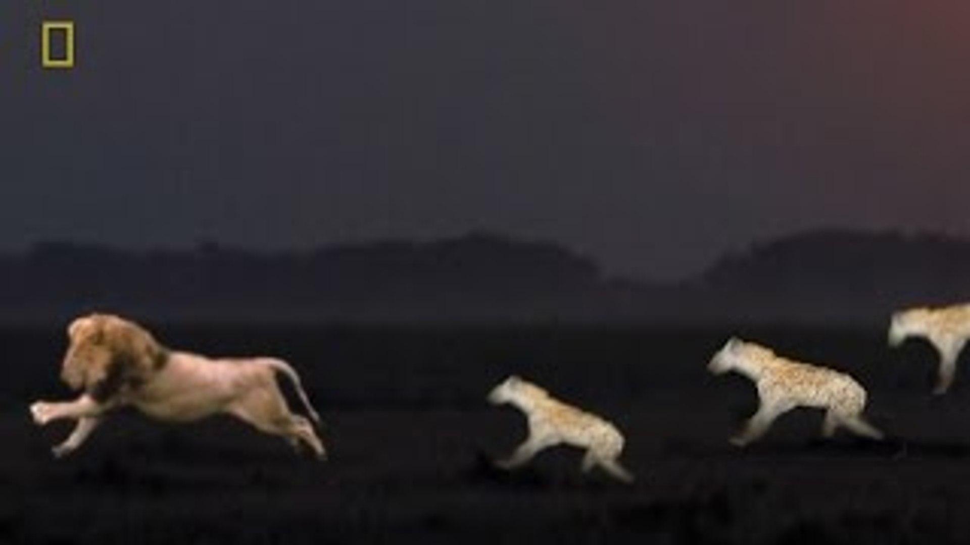 Animal Video : HYENAS HEAVEN Hyenas defeated male lion! {Animal Documentary National Geog