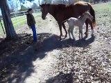 Un poulain éternue, glisse et chute au sol... Pauvre petit cheval!