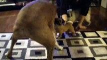 Ces 2 chiens deviennent fou face à une statue de chien. Trop mognon