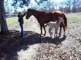 Un poulain é, glisse et chute au sol... Pauvre petit cheval!