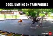 Des chiens qui adorent les trampolines - Compilation d'animaux marrant