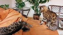 Красивые бенгальские кошки играют