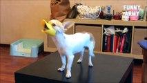 Jokes / Funny Videos 2015 / Funny Jokes 2015 (Lol, cat, utube, dog, animals)