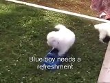 _ by Every NewOutdoor day in the life of a 5 weeks old Samoyed puppy __ Samoyed puppy hugs #3