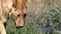 THE KILLER ATTACK    WILD LIONS IN ACTION   LIONS DOCUMENTARY