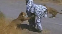 OMG!!! Fake Zebra Prank gone wrong with Real Lions