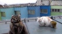 Écoutez donc ces chats Maine Coons en pleine conversation avec des oiseaux !