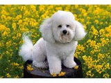 bichon frise puppies and dogs bichon frise dog breeders