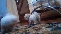 Bichon maltese and bichon frise