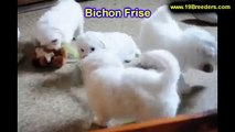 Bichon Frise, Puppies, For, Sale, in, New York, City, NY, Albany, State, Up