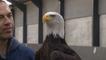 Pays-Bas : la police dresse des aigles à intercepter des drones