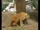 Siberian Tigers vs Lions Submissive Tigers part 2
