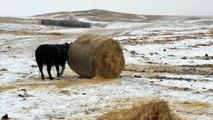 Des vaches s'amusent avec des bottes de paille