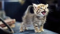 Little kittens meowing and talking - Cute cat compilation - Funny Kittens Videos Compilation