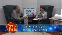 Meet TOBY a Bichon Frise currently available for adoption at Petango.com! 5/4/2015 4:46:54 PM