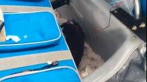 Un vison s'incruste dans une cabane de pecheur pour voler du poisson