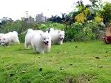 Puppy Love - Samoyed Puppies