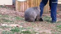 needy wombat