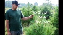 Growth of White Pine Trees