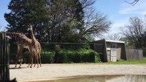 Headbanging Giraffes