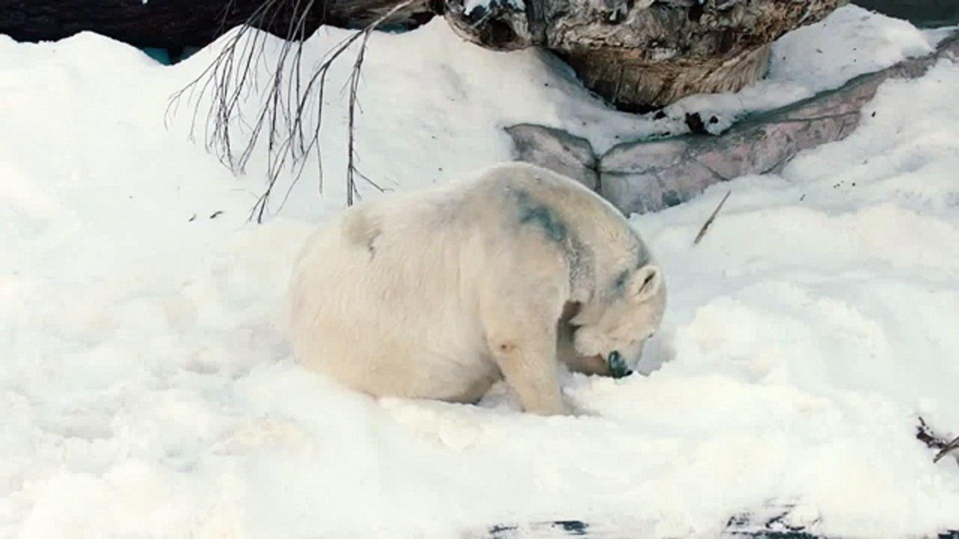 Белый медведь радуется снегу Polar Bear enjoys the snow