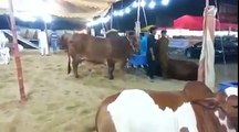 Beautiful Cows for Qurbani In Sohrab Goth Bakra Mandi Must Watch